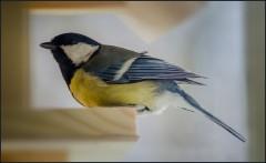 Птичка-синичка ( Снимок сделан 24 апреля 2013 г.)