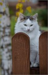 Сидящая на заборе (снимок сделан 24 октября 2015 г.)