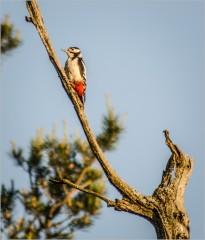 Красный дятел ( Снимок сделан 14 июня 2013 г.)