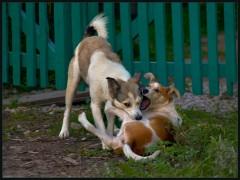 Собачьи забавы ( 11 сентября 2012 г.)