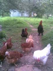Куриное семейство скита