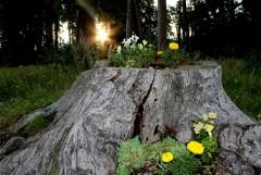Оптинское чудо: цветущий пень