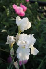 Белый Оптинский ирис