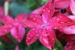 слезы утреннего дождя