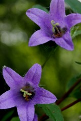 колокольчики мои, цветики Оптинские...