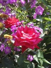 Оптинский сад роз