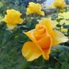 Розы Оптиной