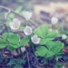 Цветение кислицы (снимок сделан 6 мая 2012 г.)