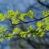 Молодые листья рябины (снимок сделан 7 мая 2013 г.)