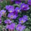 Следы вредителей на цветочном ковре (снимок сделан 10 мая 2015 г.)